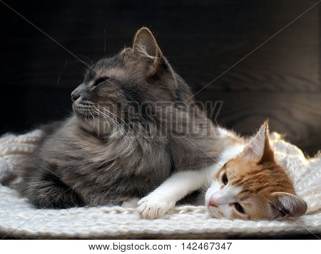 Big Gray Cat And A Small White  Red Kitten Lying Together On  Knitted Rug. Cats Symbol Of Comfort, H
