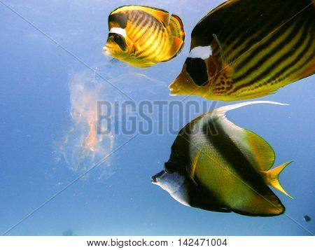 School of Butterflyfish eating a jellyfish in tropical sea.
