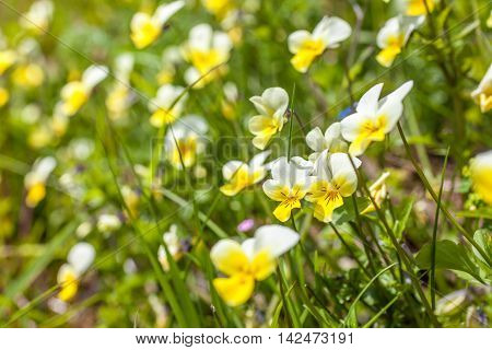 Wild Violets On A Mountain Meadow