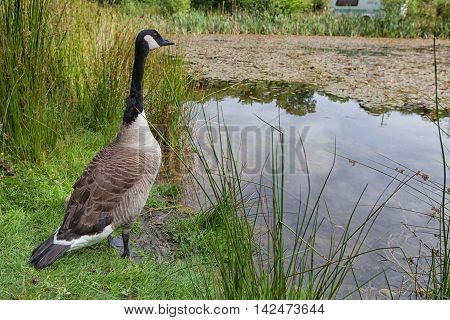 Canada Goose Stood At Edge Of Pond