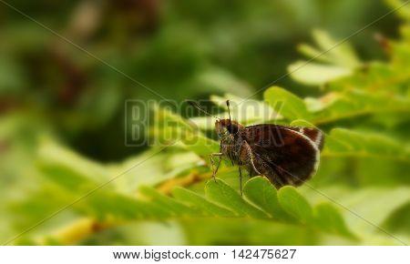 Brown hesperiid butterfly on a green fern.