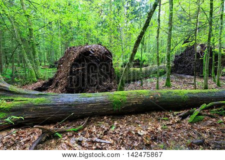 Deciduous stand rain after in summer with spruce log lying in foreground, Bialowieza Forest, Poland, Europe