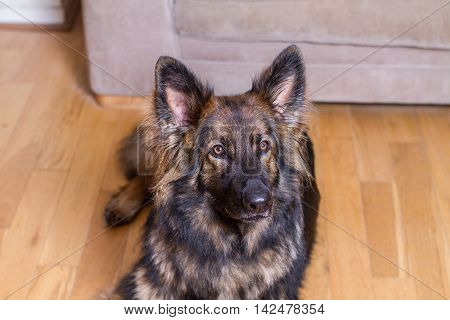 German Shepherd Dog Laid On A Wooden Floor