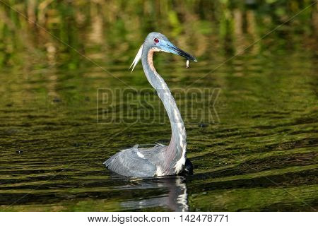 Tricolored Heron With A Small Fish