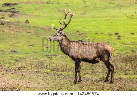 Majestic powerful adult male red deer stag on meadow. Animals in natural environment beauty in nature.