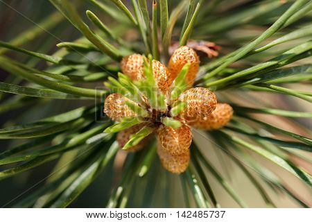Cluster of pollen-bearing male cones at the tip of a lodgepole pine (Pinus contorta) branch
