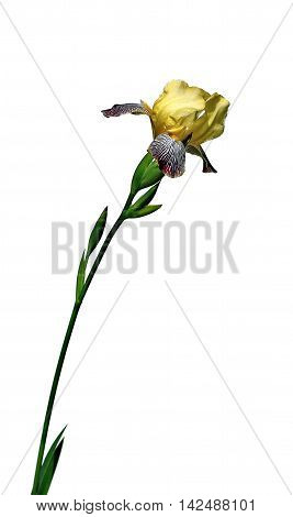 Yellow iris flower with blue stripes isolated on white background