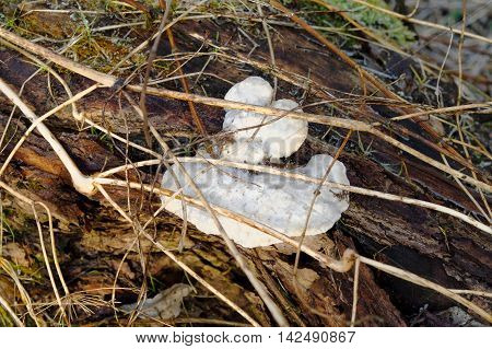 closeup of the polypore on a tree trunk
