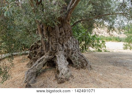 Olive tree trunk in a field in the village of Galata on Troodos mountains in Cyprus