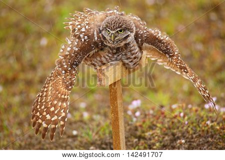 Burrowing Owl Spreading Wings In The Rain