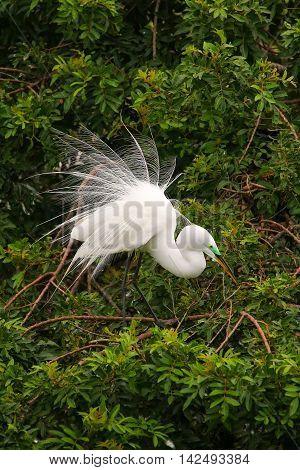 Great Egret Showing Breeding Display