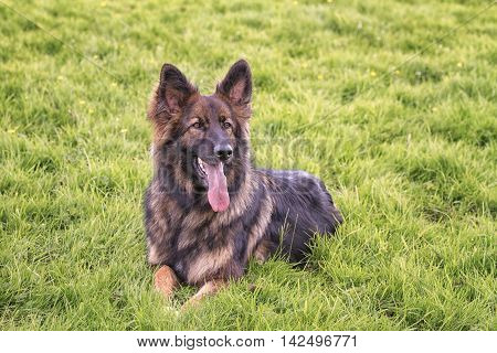 German Shepherd Dog laid on grass with his tongue out.