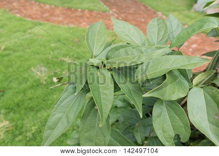 Tiliacora triandra or Thailand call Bai ya nang