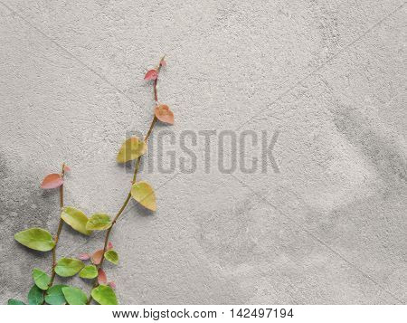 Colorful Ficus Pumila (MORACEAE) vines climbing on gray cement wall with copy space Black & White Photo with Partial Color Effect