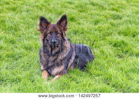 German Shepherd Dog laid on grass looking at the camera