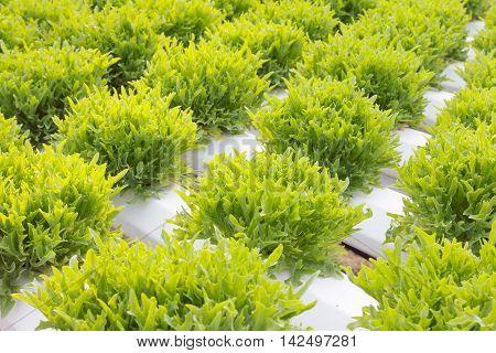 Growing lettuce in rows in the vegetable garden