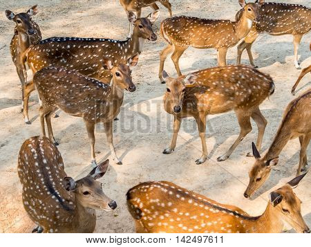 Group of spotted deer chital cheetal or Axis deer (Axis axis) in natural habitat