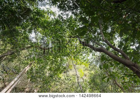 forest tree nature green wood sunlight backgrounds. (View straight up through tall tree)