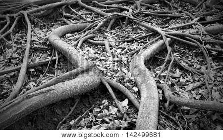 Different way of roots. (The Banyan Roots)