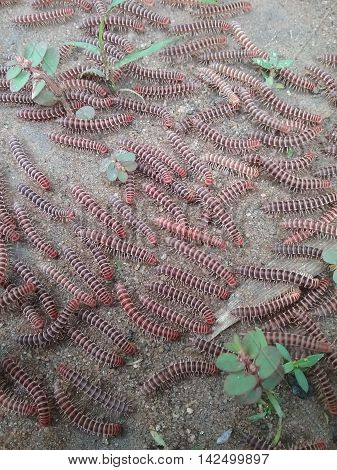 A swam of seasonal red African millipedes.