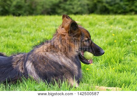 German Shepherd Dog laid on grass chewing his ball in his mouth