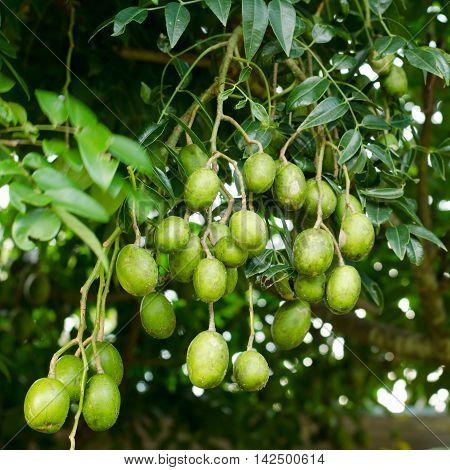 Elaeocarpus hygrophilus Kurz fruite growing on tree
