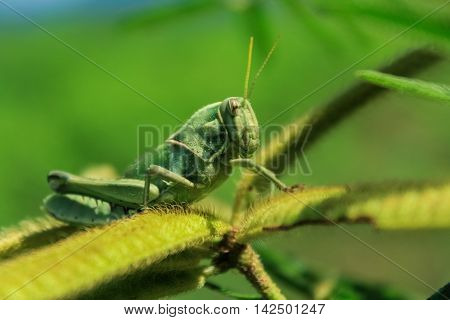 grasshopper stand on the leaves in nature