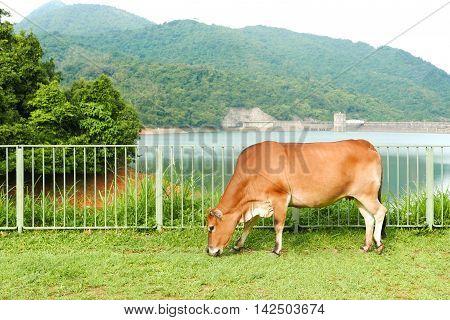 Brown Cow Eating Green Grasses Near Reservoir