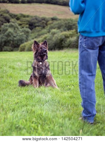 Vertical shot of German Shepherd Dog with collar and id tag sat on grass looking at his owner doing some training.