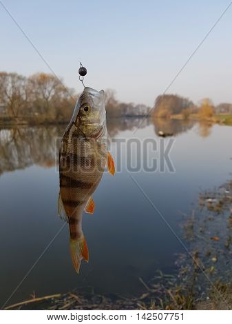 Fish on the hook. Caught perch on the hook