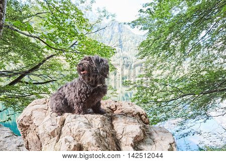 Black Havanese Dog Sitting On Stone In Front Of Lake