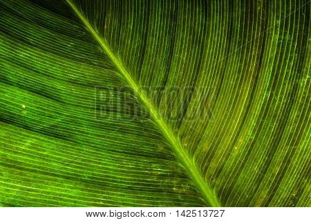 fibre texture of green leaf in nature