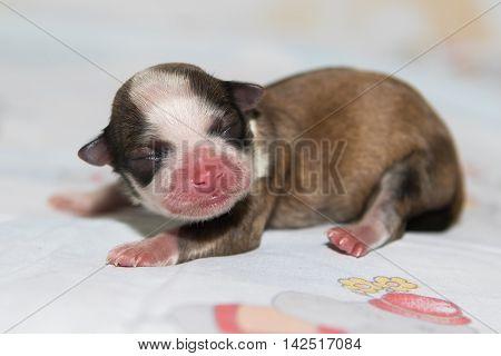 little newborn dog, havanese puppy, small, cute