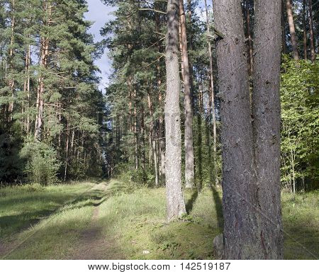 Abandoned road or foot path in pine tress forest the blue bright sky in the blurred background
