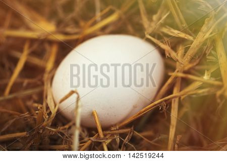 Close up macro photo of domestic chicken egg in nest made of hay in henhouse. This natural food ingredient is very important in healthy diet ration
