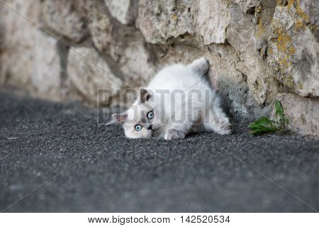 adorable fluffy kitten with blue eyes lying down outdoors