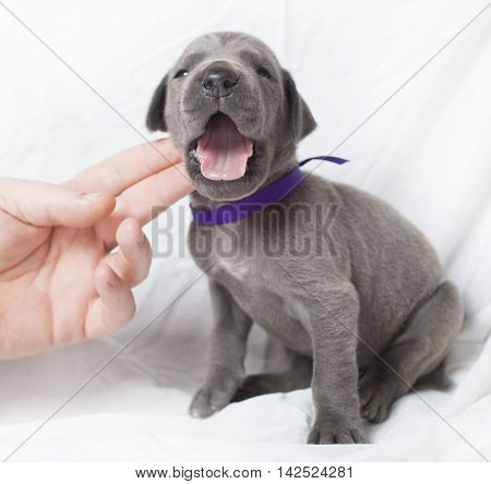 Purebred Great Dane puppy with its mouth open making noise