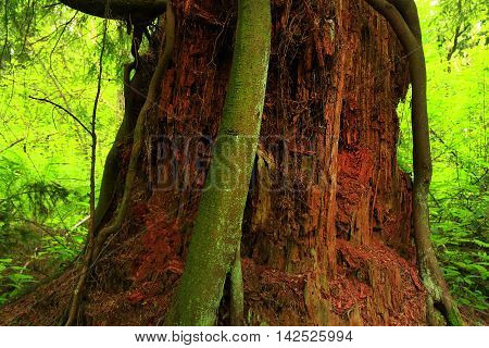 a picture of an exterior Pacific Northwest forest with a old growth Western red cedar tree trunk
