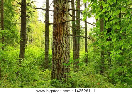 a picture of an exterior Pacific Northwest forest with Douglas fir trees