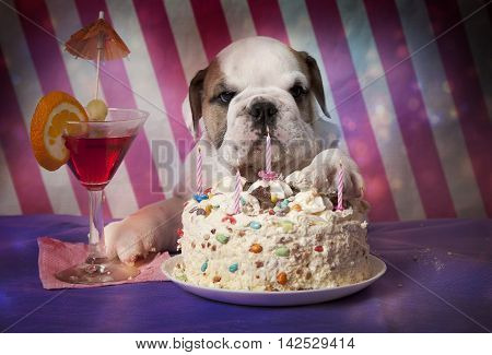 Six weeks old purebred English Bulldog puppy with birthday party hat enjoys his cake