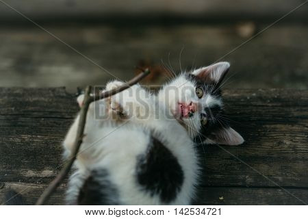 Small Kitten Playing With Wooden Twig