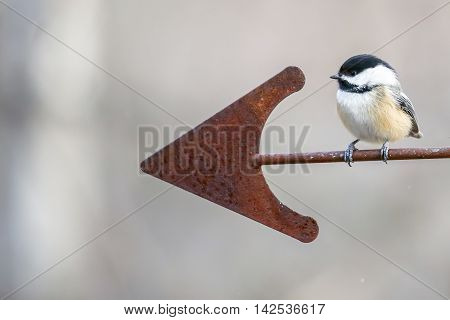 A chickadee perched on a rusty arrow shaped weathervane looking forward.
