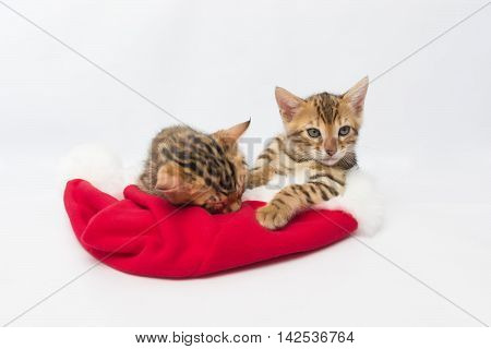 Two Bengal kitten on the hat of Santa Claus
