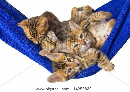 four small kittens Bengal are in a blue towel