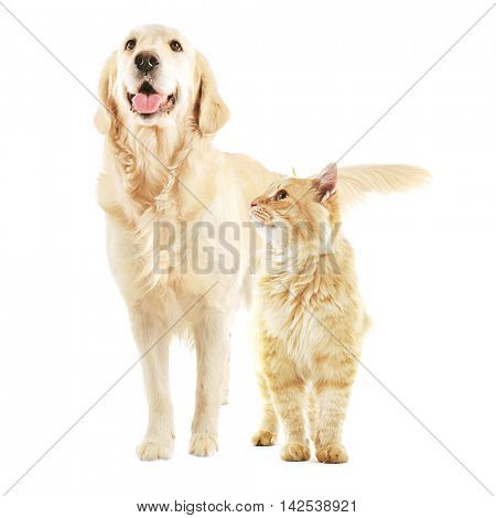 Cute golden retriever with his tongue out and beautiful ginger tabby cat together on white background. Animal friendship concept.