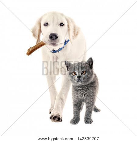 Cute puppy with bone in mouth and adorable british shorthair kitten together on white background. Animal friendship concept.