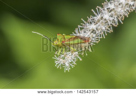 Hawthorn Shieldbug, Acanthosoma Haemorrhoidale, On A White Flower