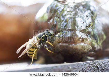 Closeup of a hornet tasting a fresh fish