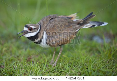 Killdeer sounding the alarm we are too close to its nest and eggs