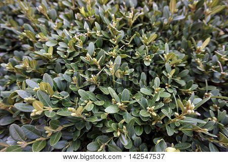 Korean boxwood (Buxus sinica) growing in a garden in front of a house in Joliet, Illinois.